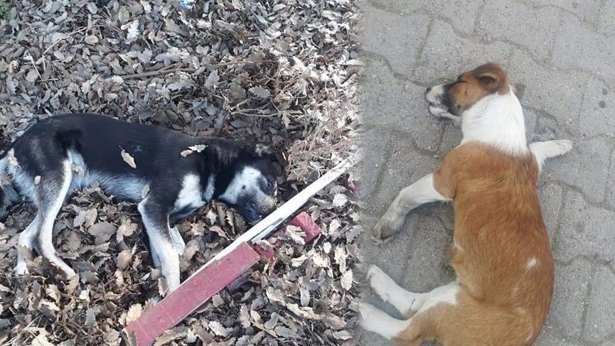 Köpek katliamı beldeyi ayağa kaldırdı! 'Kafama sıkarım'