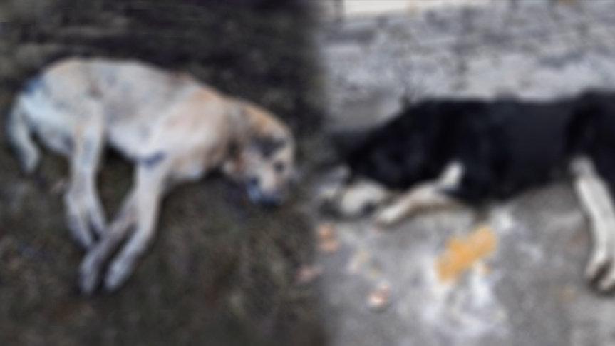 Ankara'da vahşet! 7 köpek zehirli tavuk yedirilerek katledildi
