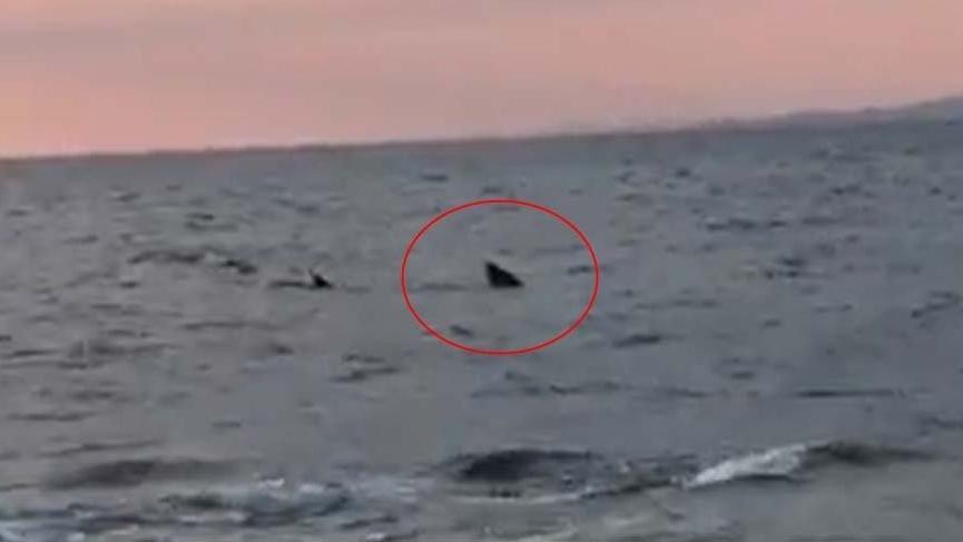 Saros'ta 7 metrelik köpek balığı görüldü: Teknenin boyundan daha büyüktü