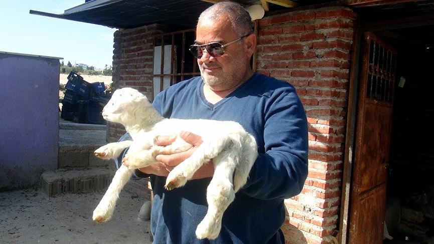 Silifke'de 6 bacaklı kuzu doğdu