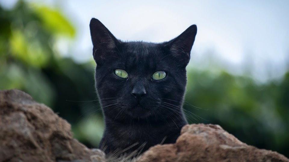 Belçika'da kediye sahibinden corona virüsü bulaştı