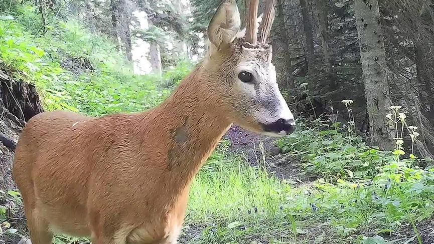 Nesli tükenmekte olan vaşak ve kızıl geyik foto kapanla görüntülendi