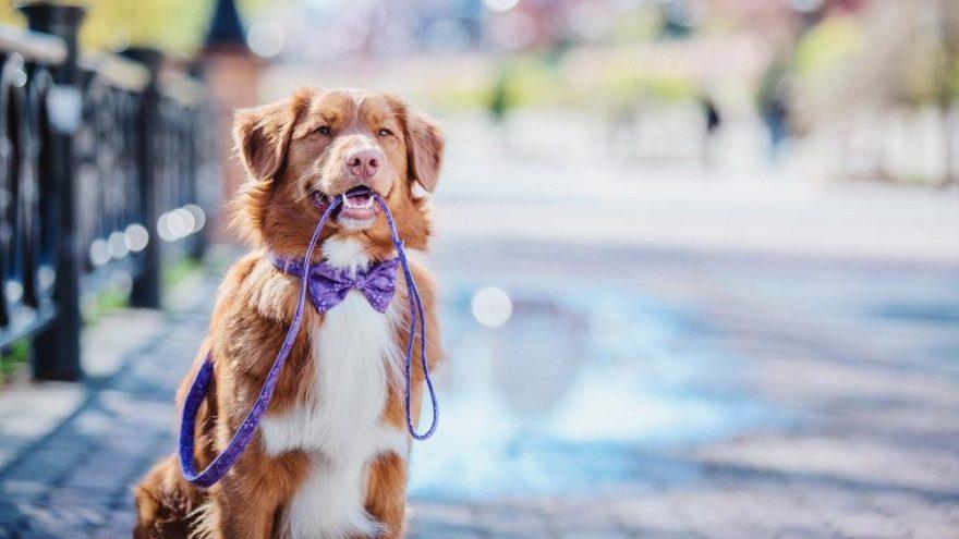 Köpekleri olduğu için sokağa çıkabilen Ruslar, hayvan dostlarını kiralıyor