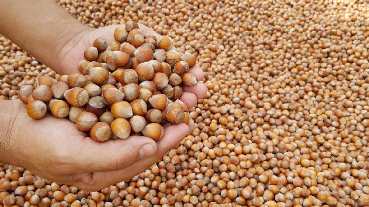 Fındıktaki böcek istilası dünya fındık piyasasını etkileyebilir!