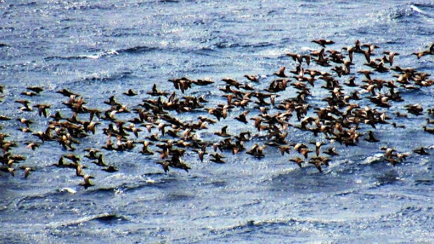 Bodrum sahilleri turist yerine ördeklerle doldu taştı