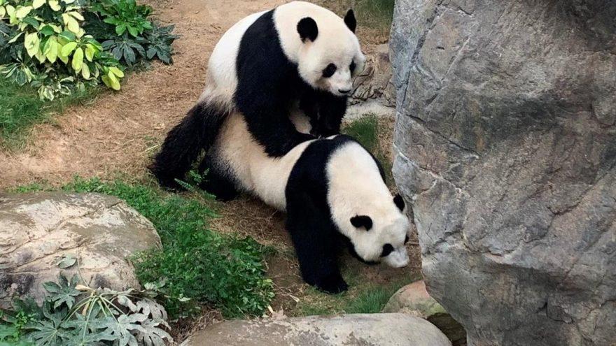 Hong Kong'da corona virüsü nedeniyle kapanan hayvanat bahçesindeki pandalar 10 yıl sonra çiftleşti