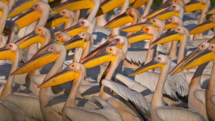 Afrika'dan Avrupa'ya göç eden ak pelikanlar Manyas Kuş Cenneti'nde görüntülendi