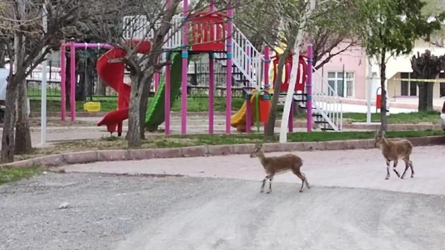 Sokakların boş kaldığı ilçe yine yaban keçilerine kaldı