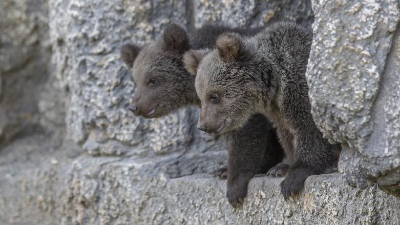100 günlük minik boz ayılar, Tarsus Doğa Parkı'nın maskotu oldu