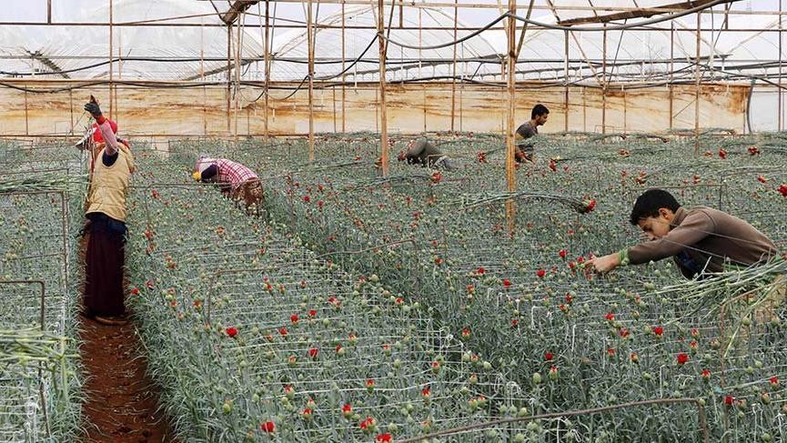 Virüs 1.1 milyar liralık çiçeği soldurdu