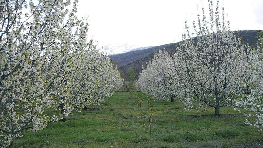 Çiçek açan kiraz ağaçlarının doyumsuz güzelliği