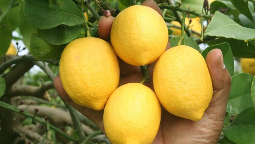 İBB, Mersinli çiftçiden alınan 100 ton limonu ihtiyaç sahiplerine ücretsiz dağıtacak!