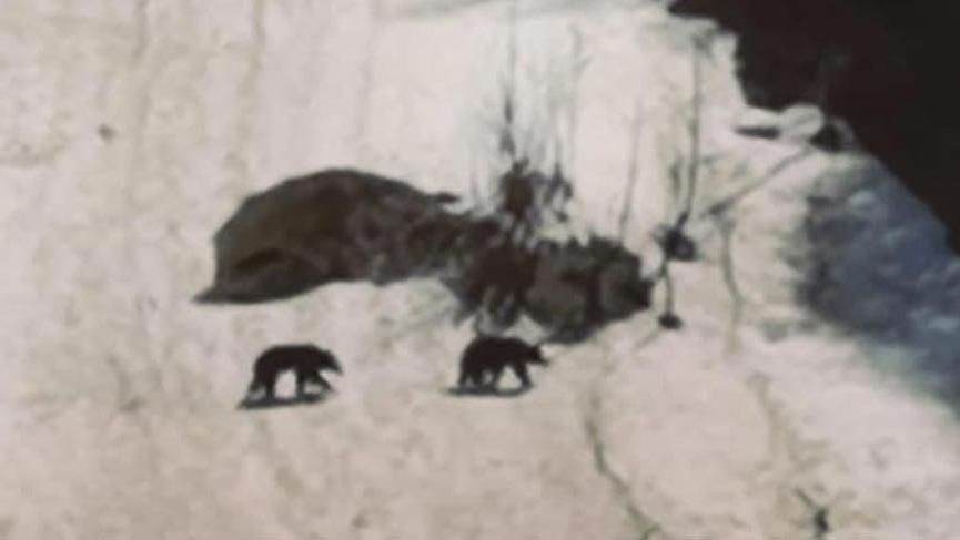 Boz ayılar, Ayder Yaylası´nda