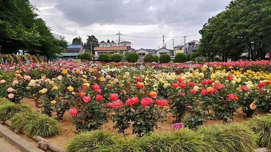 Japonya'da parklara gidilmesini önlemek için çiçekler budandı