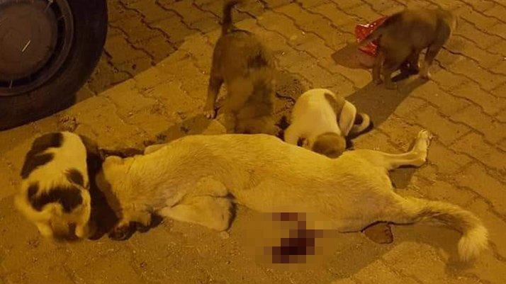 Uyuşturucu iğneyle vurulan köpek öldü! Belediye soruşturma başlattı