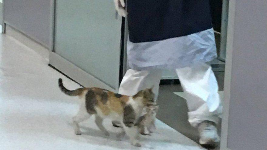 Anne kedi hasta yavrusunu bir hastanenin acil servisine götürüp tedavi ettirdi