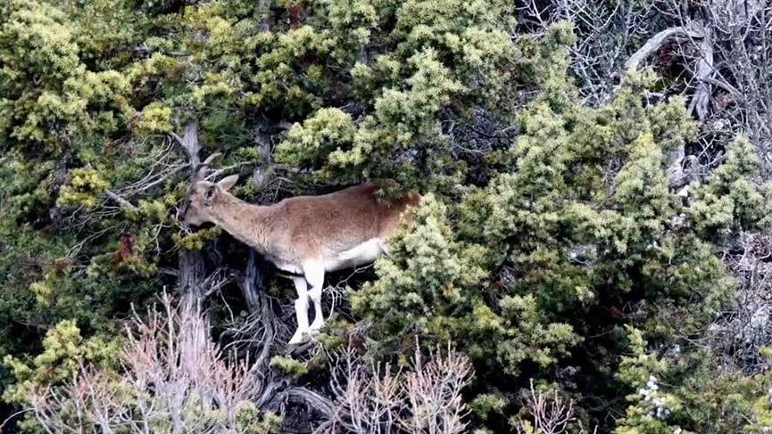 Toros Dağları'ndaki yaban keçileri dronla görüntülendi