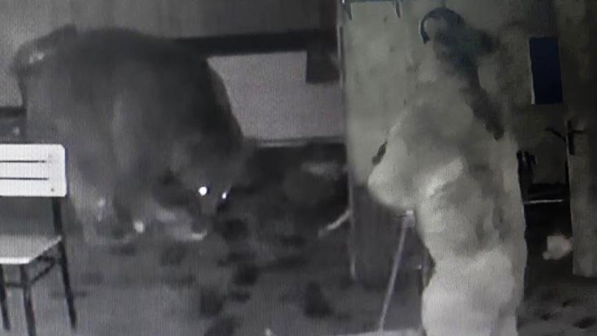 Aç kalan ayı buzdolabını devirip karnını doyurdu