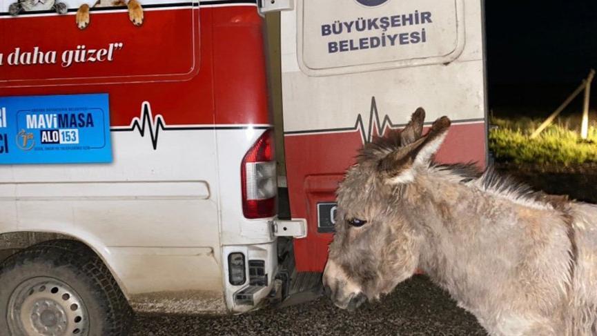 Ankara Büyükşehir Belediyesi, kangal saldırısı sonucu yavrusunu kaybeden eşeğe sahip çıktı