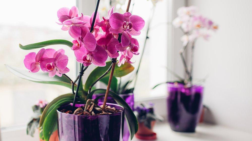 Orkide bakımı nasıl yapılır? Orkide saksısı nasıl olmalı?