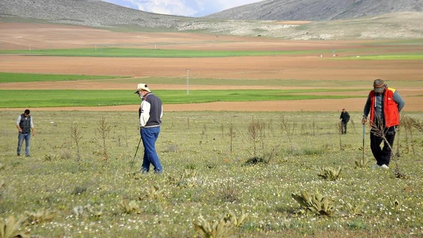 Kilosu 200 lirayı bulan domalan mantarını karış karış arıyorlar