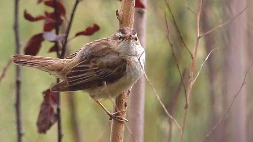 Hersek Lagünü´nde kuş türü sayısı 224´e çıktı