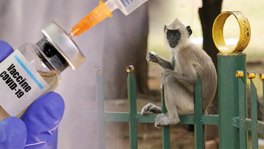 İnsana benzer bağışıklık sistemi olan hayvanda corona aşısı başarılı oldu!