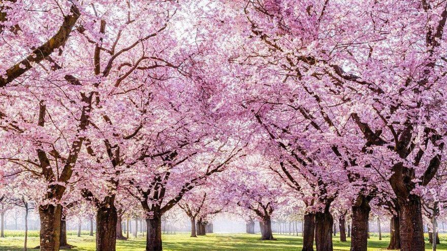 Sakura ne demek? Sakura ne anlama geliyor? - Güncel haberler