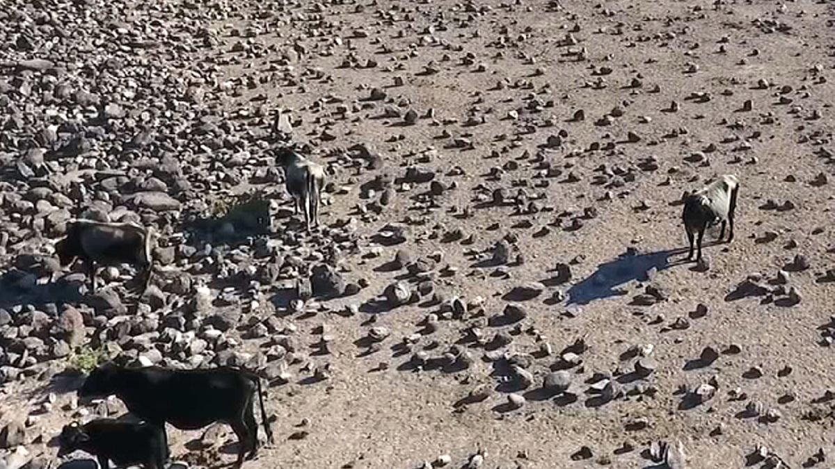 Manisa'daki 'özgür inekler', drone ile böyle görüntülendi