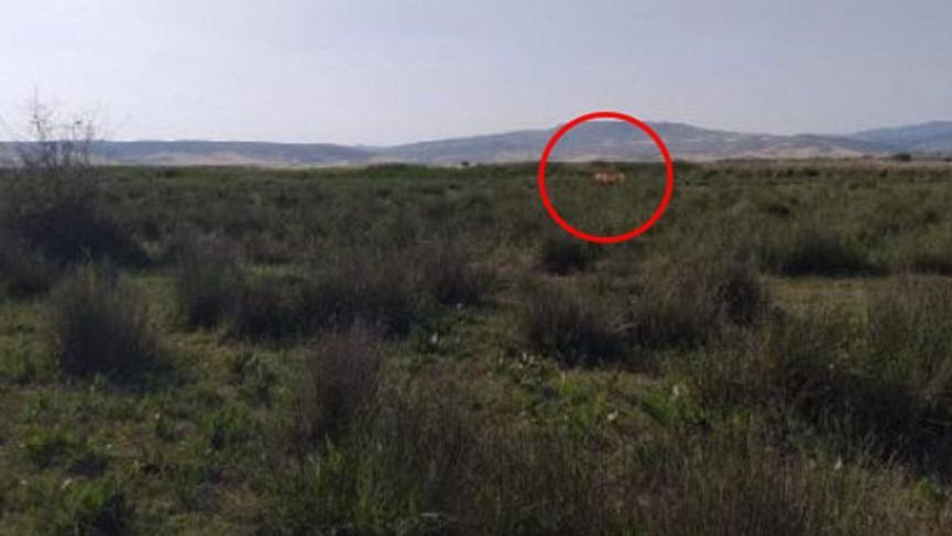 'Aslan' alarmı... 4 büyükbaş hayvan parçalanmış halde bulundu