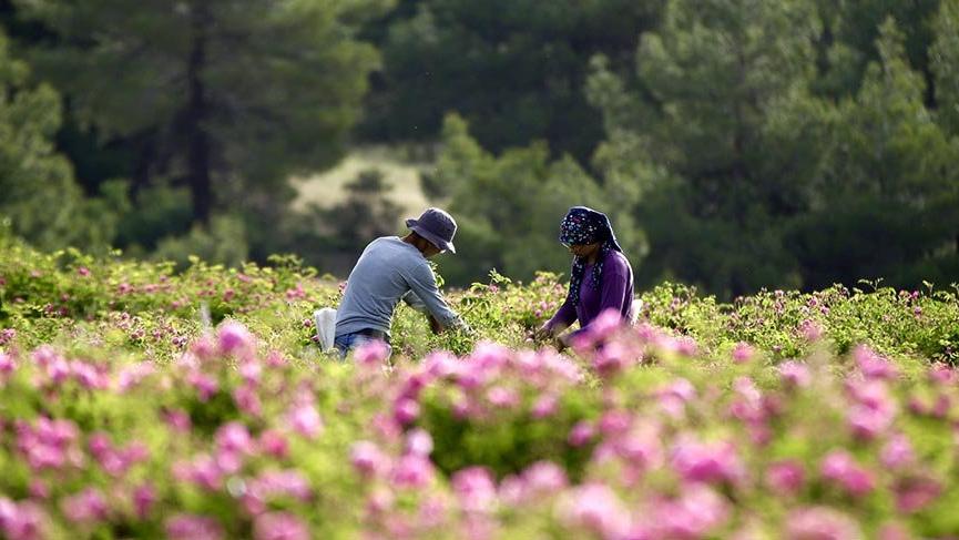 Köyde 37 yıl önce 2 dönümle başlayan gül üretimi, bin hektara çıktı