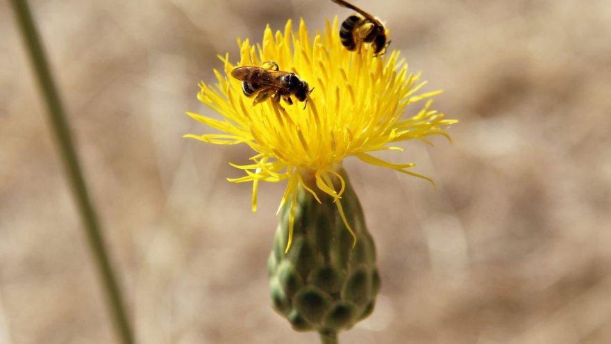 Yok olma tehlikesi altındaki Tülüşah çiçek açınca yetkililer sevindi