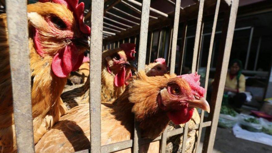 Son dakika… Sınır komşumuzda H5N8 salgını patlak verdi