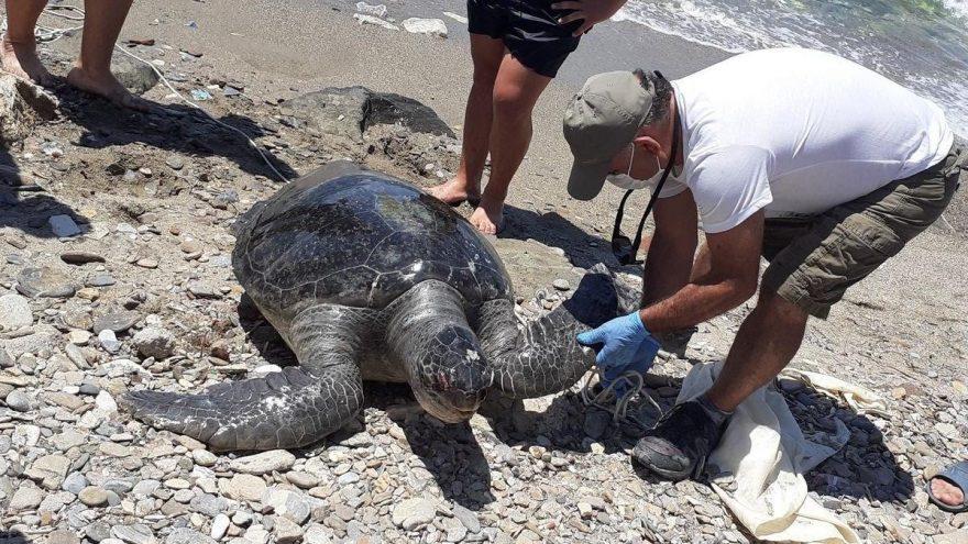 Kuşadası'nda 2 deniz kaplumbağası kıyıya vurdu: Biri bugüne kadarki en büyük boyuta sahip