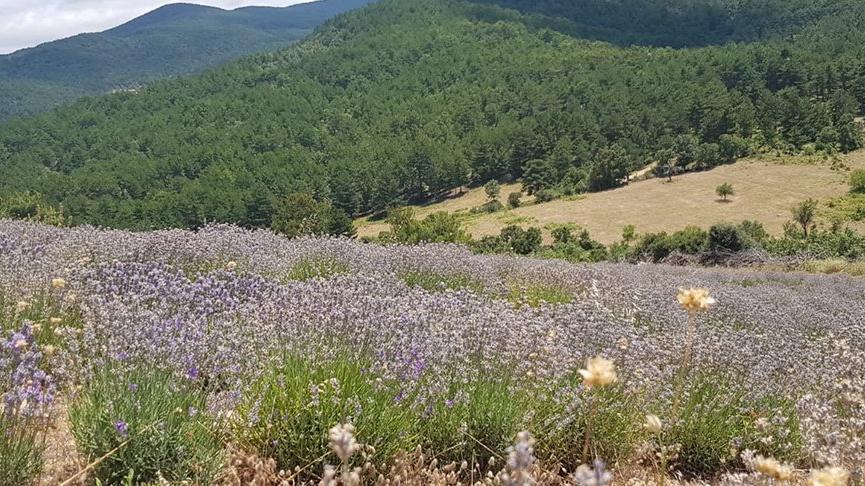 Oksijen deposu ve endemik bitkileriyle meşhur Kazdağları'nda tıbbi aromatik lavantalar yetiştiriliyor