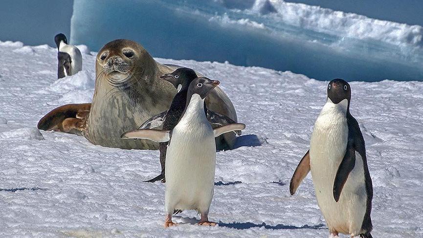 Adlarını kutup araştırmacısının karısından alan Adelie penguenleri