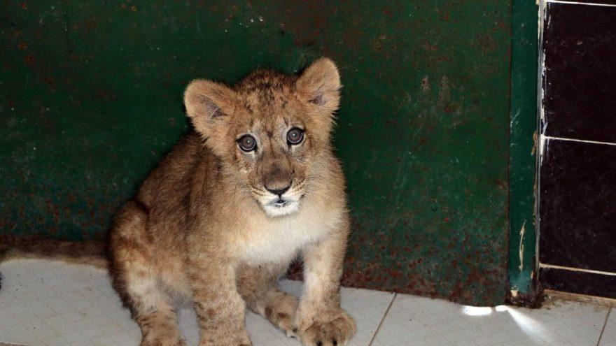 İranlı modelin aslanı Gaziantep'te korumaya alındı