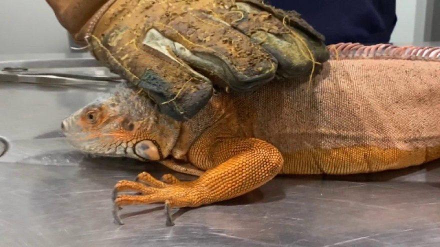 Üsküdar'da 125 santimlik iguana bulundu