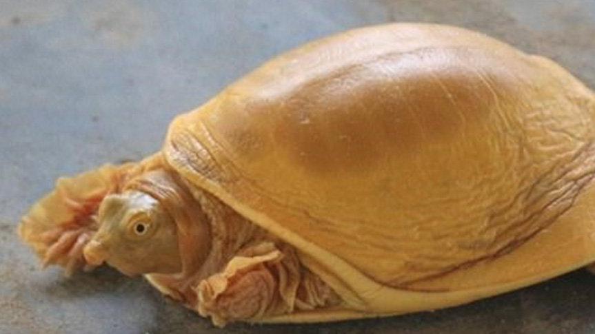 Nepal'de dünyanın 5. altın renkli kaplumbağası bulundu