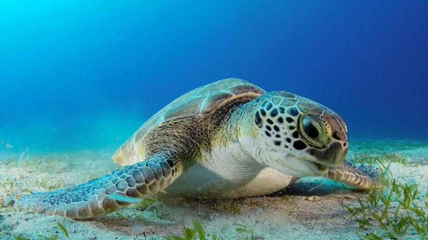 Dalgıçların ilgi odağı kaplumbağa: 'Hürrem'