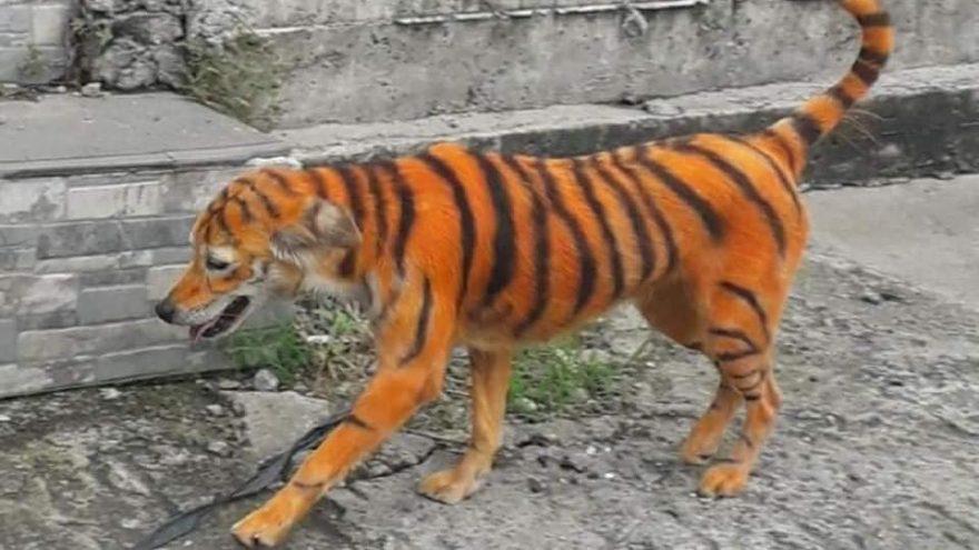 Malezya'da hayvanseverler ayakta: Köpeği kimyasal boyayla kaplan rengine dönüştürdüler
