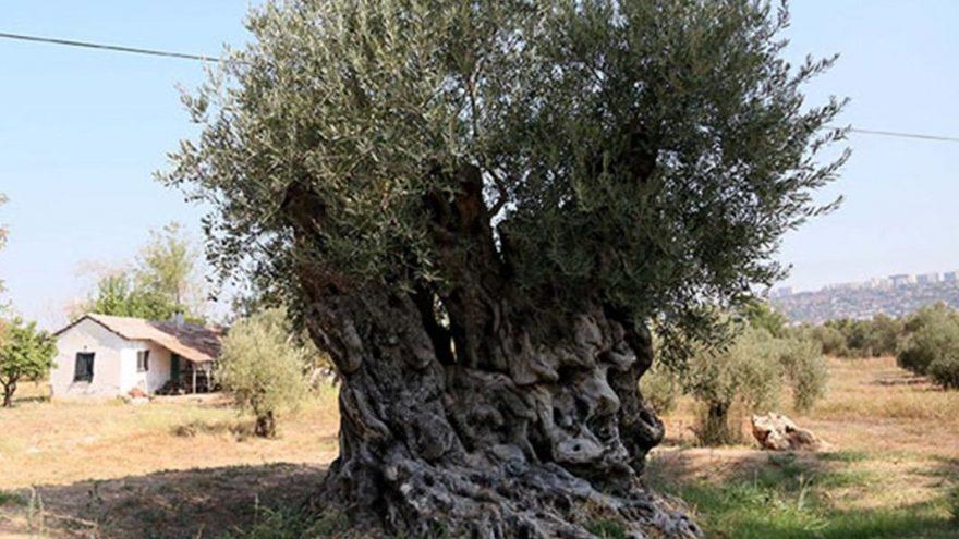 Tam 1204 yaşında… Hâlâ meyve veriyor