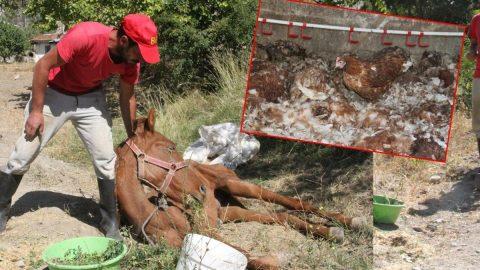 Ahırda kapalı bırakılan 300 tavuk öldü, at ise can çekişirken bulundu