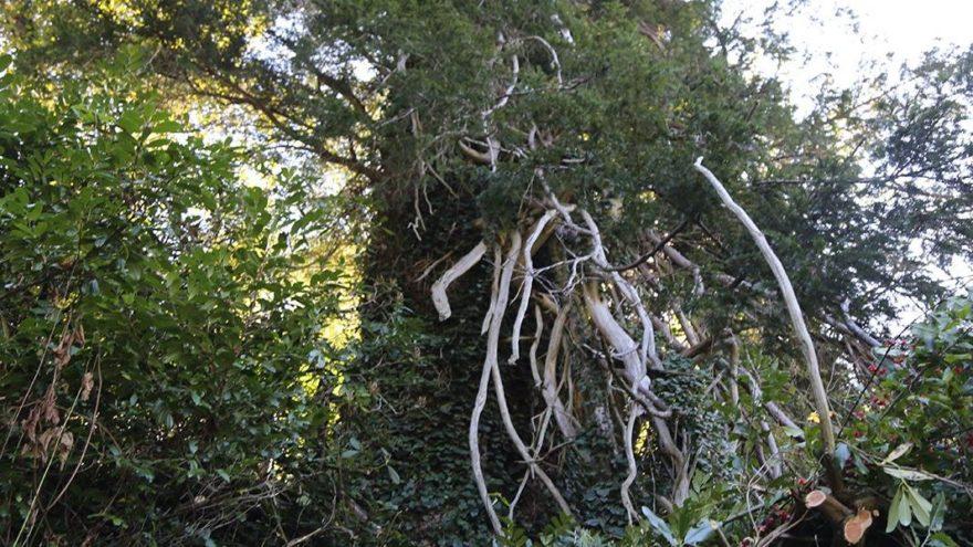 Türkiye'nin en geniş çaplı porsuk ağacı Artvin'de tescillendi
