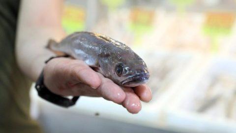 Dikkat! Mezgit diye zehirli balon balığı satılıyor...