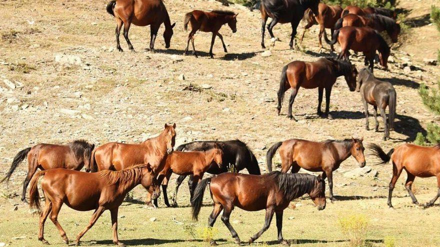 Siyanürlü altın için yılkı atlarını sürgün edecekler