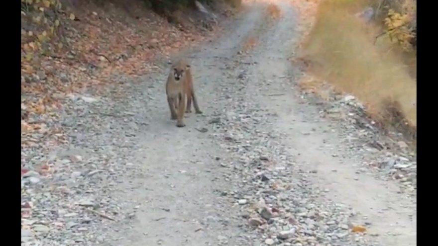 Koşu yaparken yabani dağ kedisiyle karşılaştı