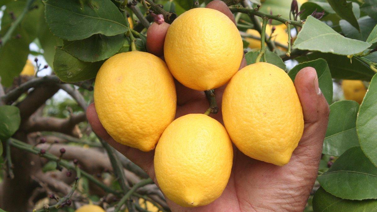 Limonun kilosu 1.5 TL'ye düştü
