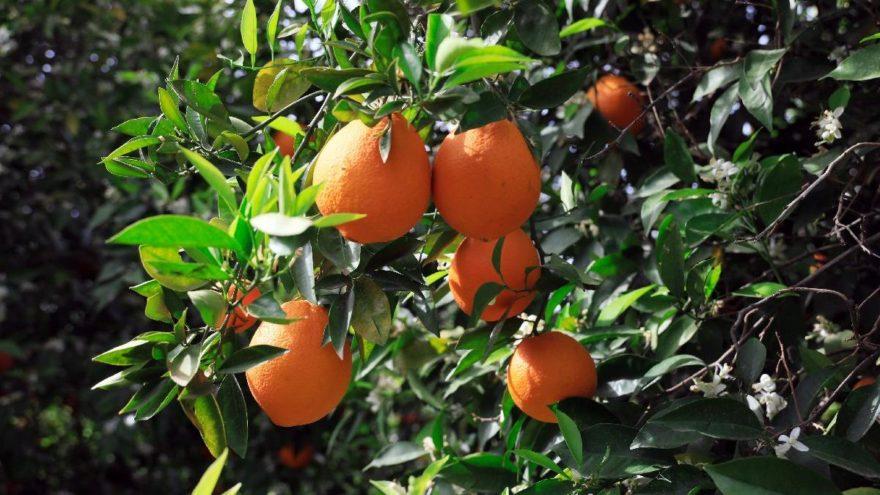 Rekoltede büyük kayıp! Portakal fiyatları el yakacak