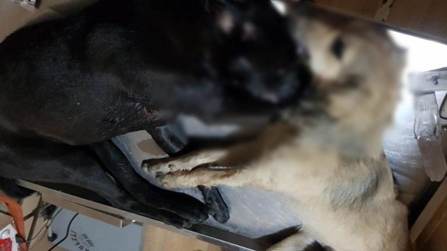 16 köpeği zehirleyerek öldürdüler